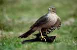 Photograph Sparrowhawk Female