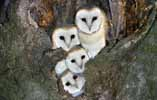Photograph Barn Owls