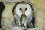 Photograph Barn Owl