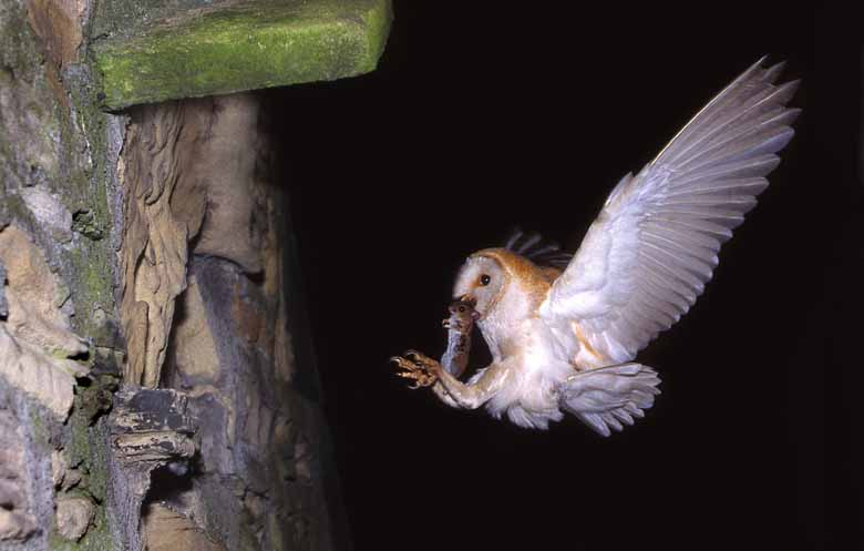 Barn Owl Prey