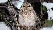 Photograph Shorteared Owl