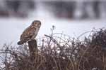 Photograph Short Eared Owl