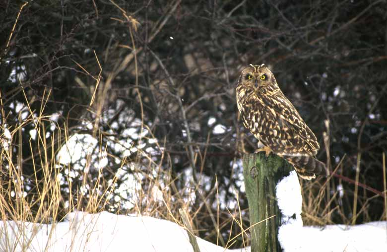 Short Eared Owl On Post