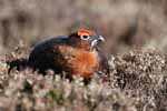 Photograph Red Grouse