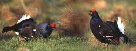 Photograph Black Grouse At Lek