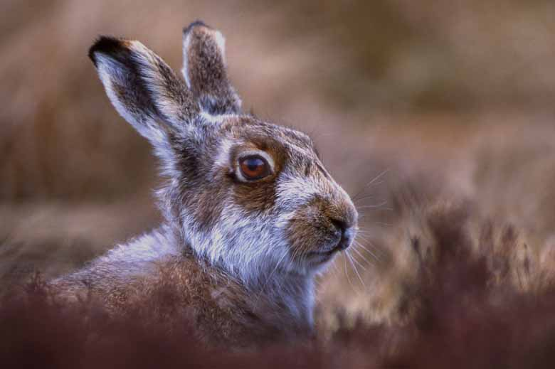 Blue Hare