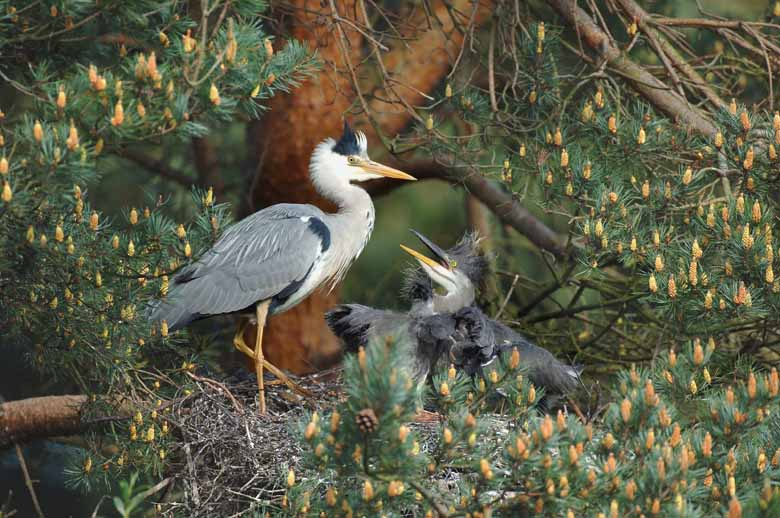 Heron With Chicks
