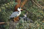Photograph Heron With Chicks