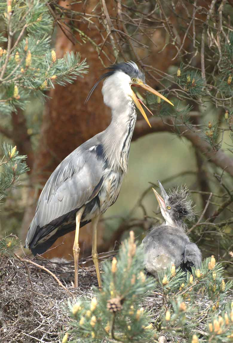 Heron Feeding Chicks
