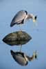 Photograph Heron Reflection
