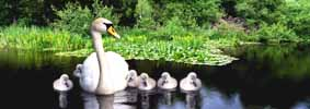 Photograph Swan With Cygnets