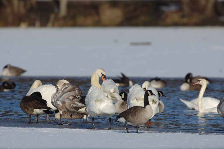 Swans and Canada Geese