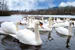 Photograph Mute Swans Bolam Lake