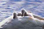 Photograph Swans Cygnets