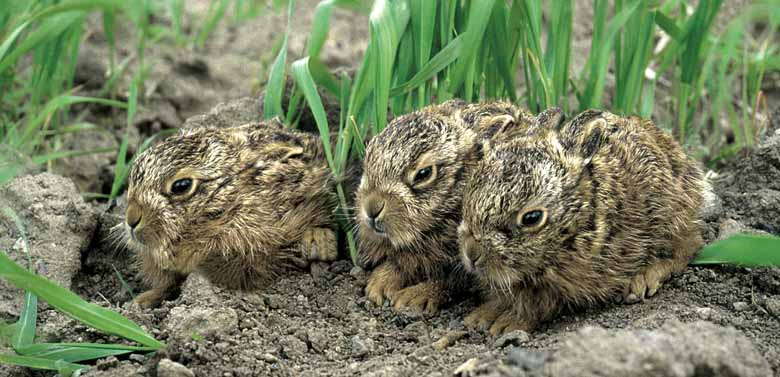 Brown Hare Leverets