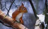Photograph Red Squirrel