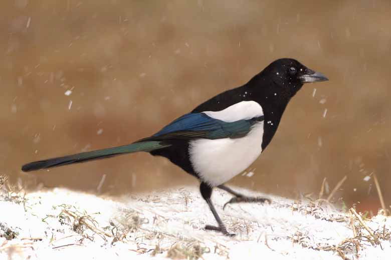 Magpie In Snow