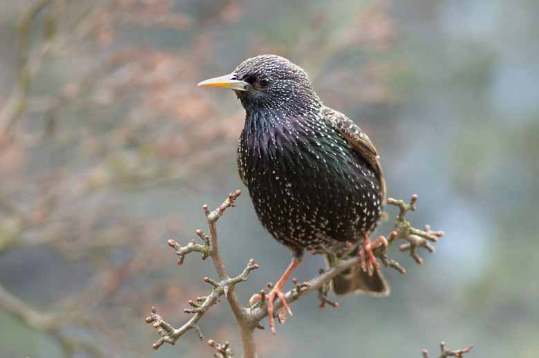 Starling On Hawthorn
