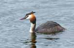 Photograph Great Crested Grebe