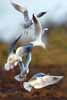 Photograph Black Headed Gulls