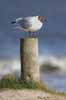 Photograph Black Headed Gull