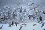 Photograph Herring Gulls Into Storm