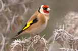 Photograph Goldfinch