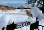 Photograph Robin In Winter