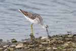 Photograph Greenshank