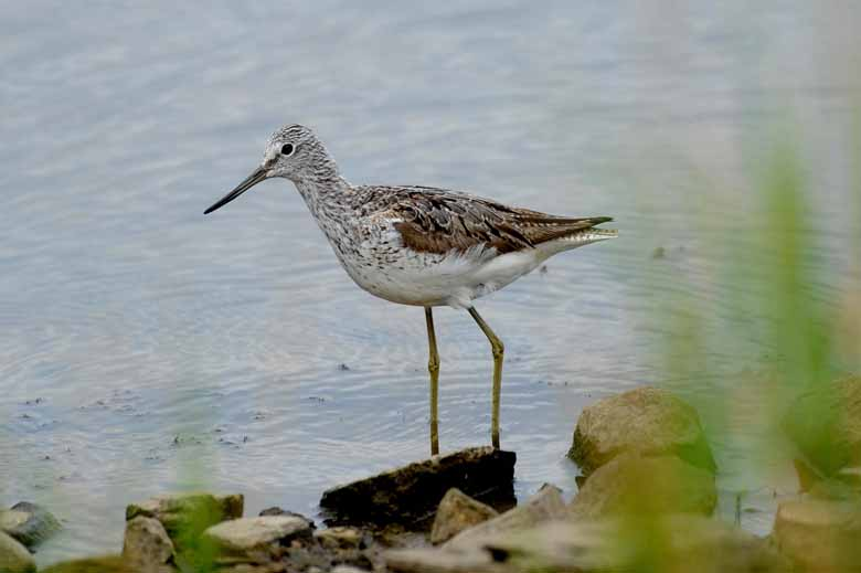 Greenshank At Lake Side