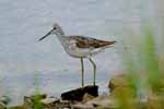 Photograph Greenshank At Lake Side