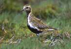 Photograph Golden Plover