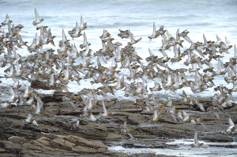 Golden Plover At Coast