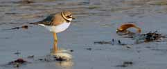 Photograph Ringed Plover