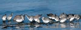 Photograph Sanderlings