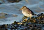Photograph Purple Sandpiper