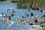 Photograph Godwitts, Lapwings