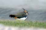 Photograph Lapwing In Storm