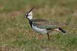 Photograph Lapwing Female