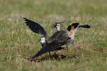 Photograph Lapwing Courtship