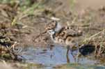Photograph Lapwing Chick