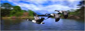 Photograph Canada Geese
