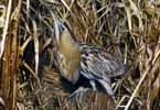 Photograph Bittern In Reeds