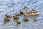 Photograph Mallard With Ducklings