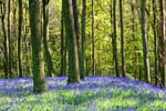 Photograph North Tynedale, Bluebells, Northumberland