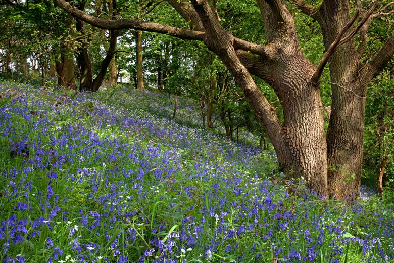 Derwentside Bluebells, County Durham