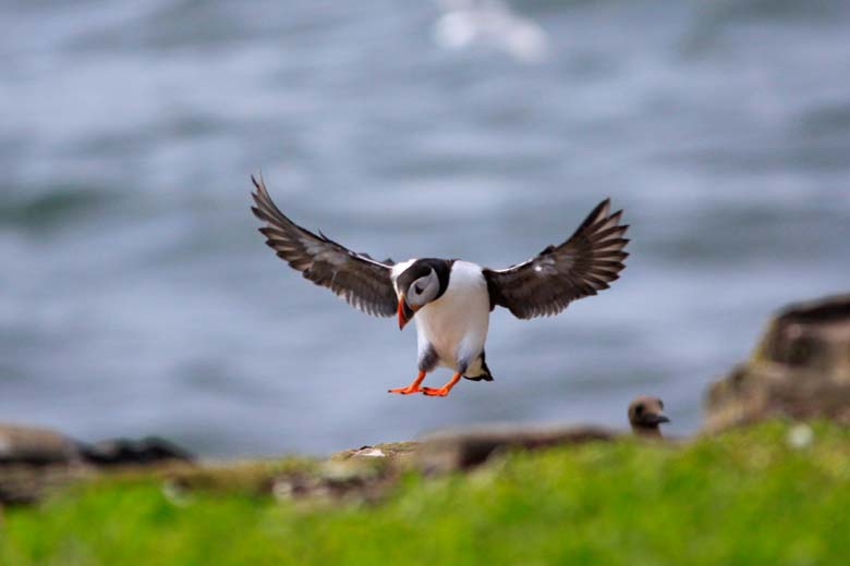 Puffin, Farne Islands, Northumberland